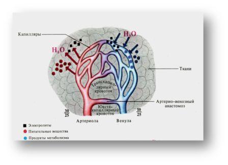 схема микроциркуляторного
